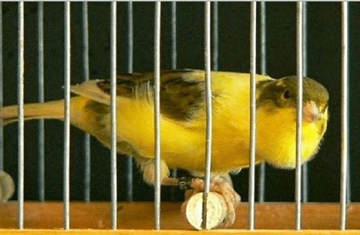 Jenis Burung Kenari Roller
