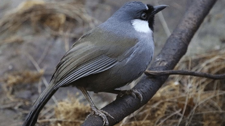 Jenis Burung Poksay