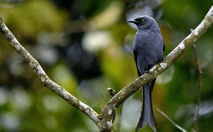 Jenis Burung Saeran