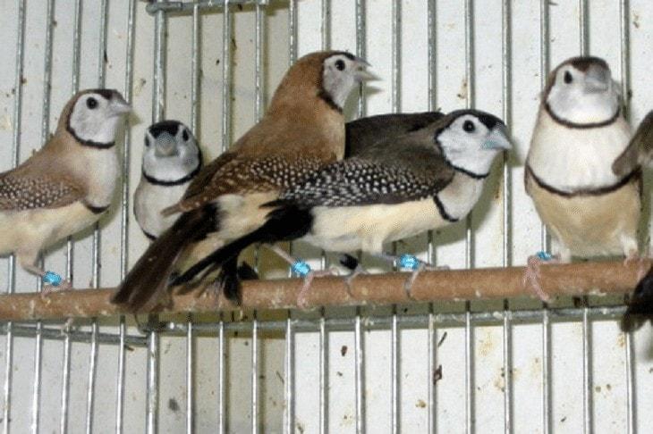 Kandang Ternak Owl Finch