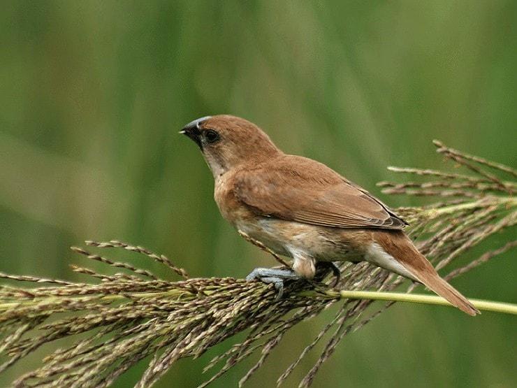 Pakan Burung Bondol Peking