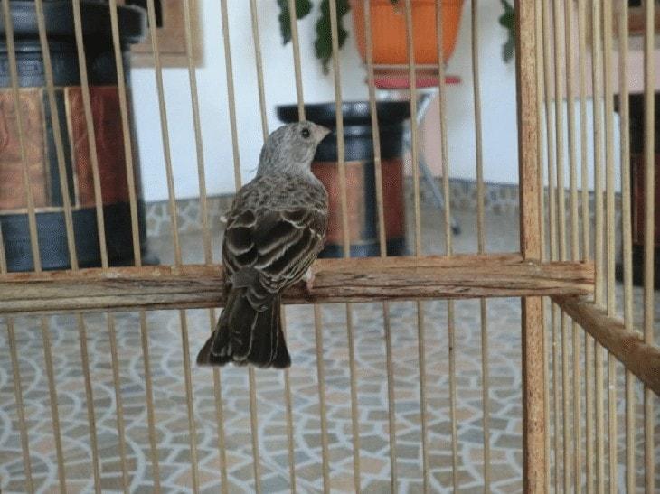 Penangkaran Burung Edel Sanger