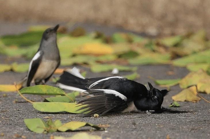 Penyebab Burung Kacer Batuk dan Sakit Tenggorokan