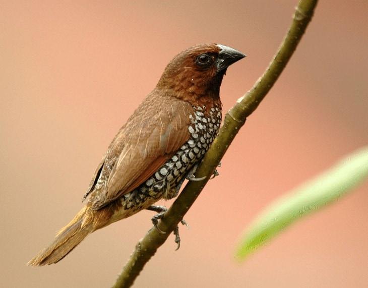 Ternak Burung Bondol Peking