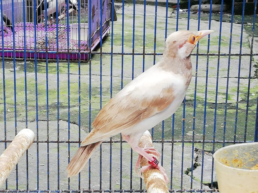 Jalak Suren Albino Cream
