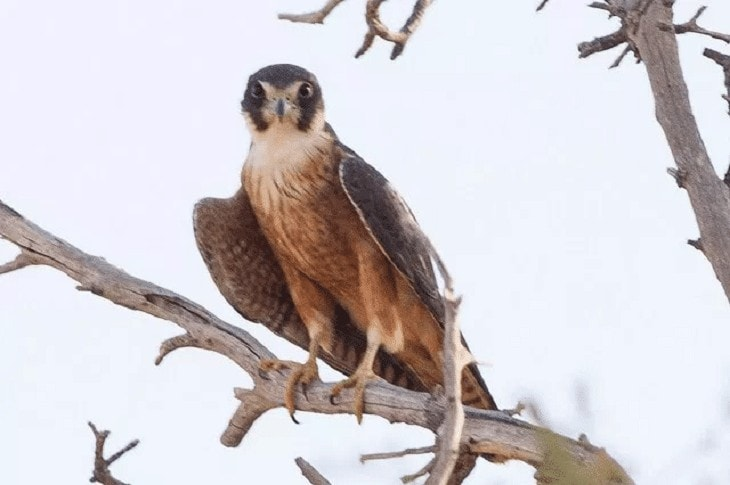 Burung Alap Alap Australia