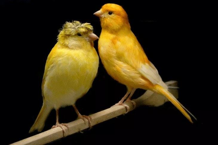 Burung Kenari Jantan Tidak Ngisi