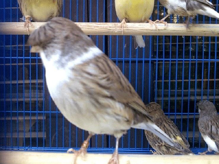 Burung Kenari Starblue