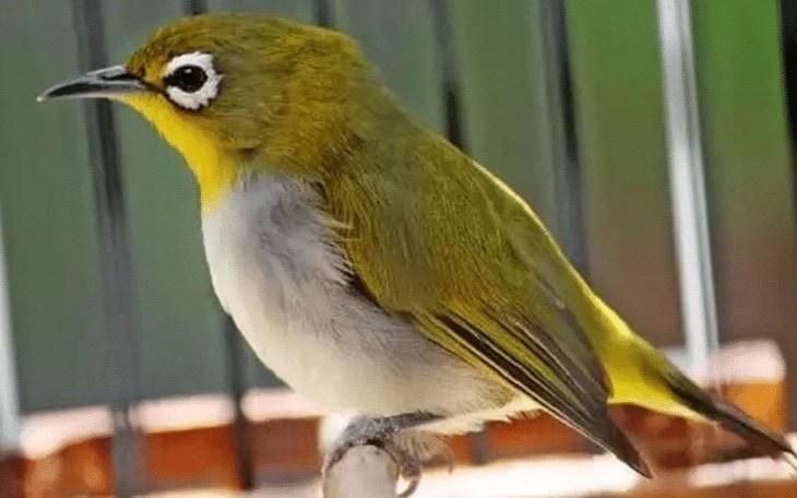 Burung Pleci Kurang Fit