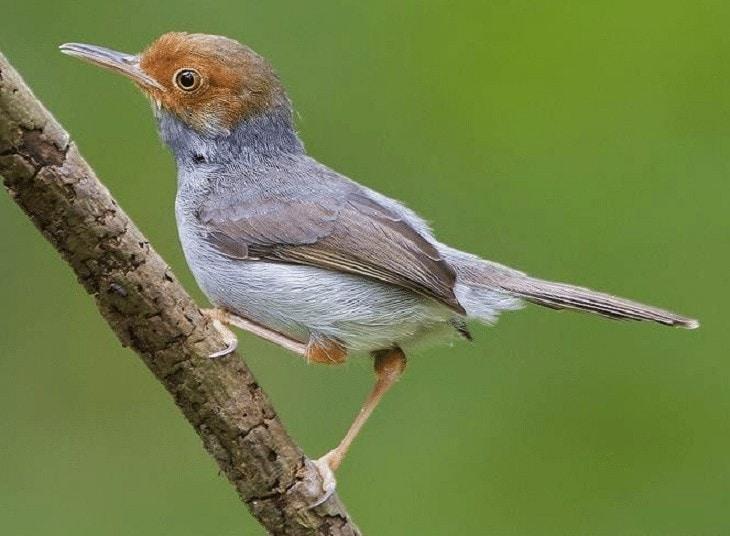 Cara Mengatasi Burung Prenjak Macet Bunyi