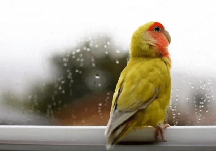 Perawatan Lovebird Saat Musim Hujan