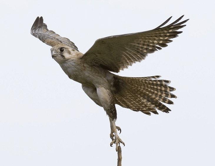 Ciri Burung Alap Alap