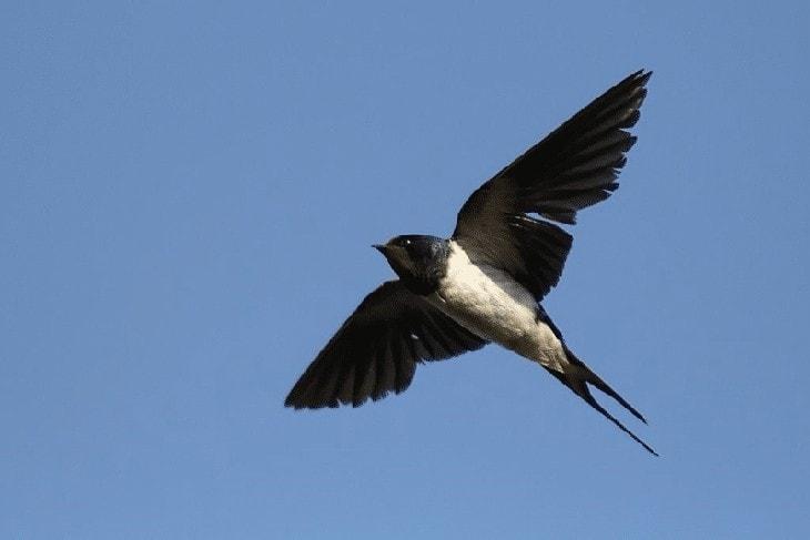 Ciri Ciri Burung Walet Sapi