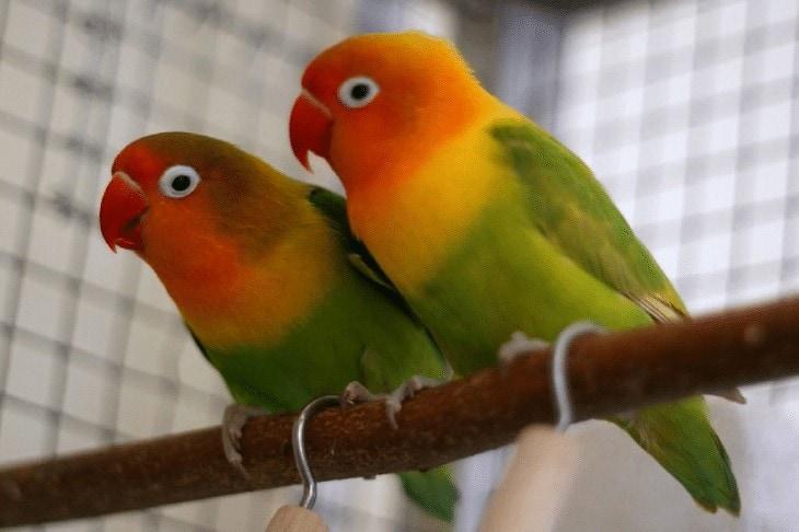 Ciri Ciri Lovebird Josan
