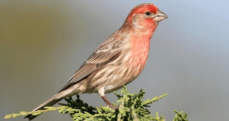 Ciri Khas Burung House Finch