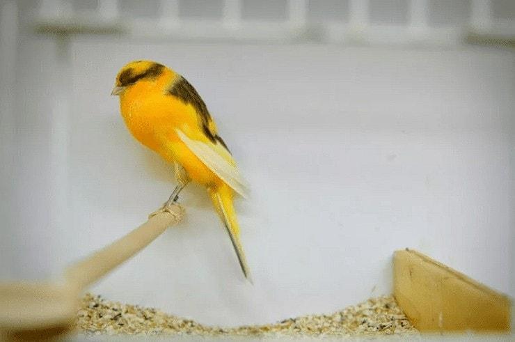 Jenis Burung Kenari Penyanyi