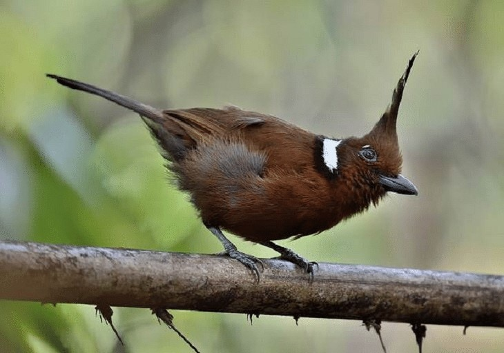 Karakter Burung Cililin