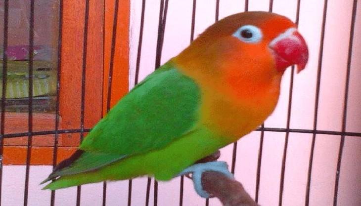 Karakter Lovebird Josan