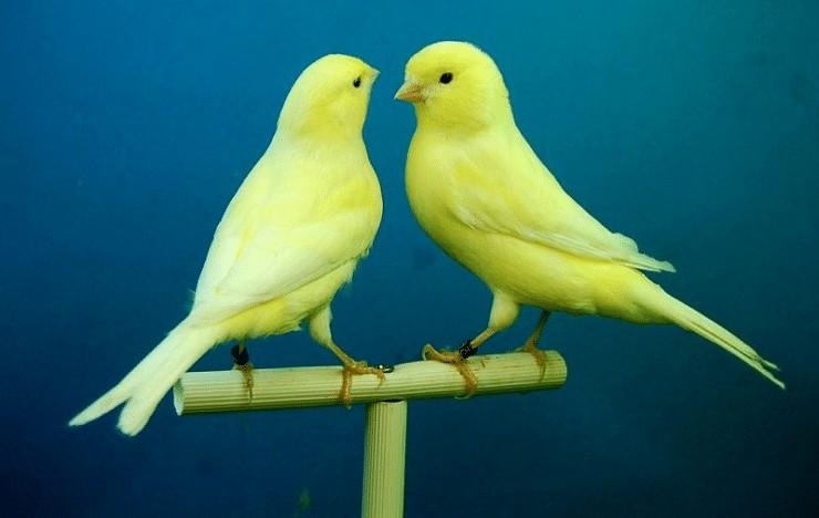 Keunggulan Burung Kenari