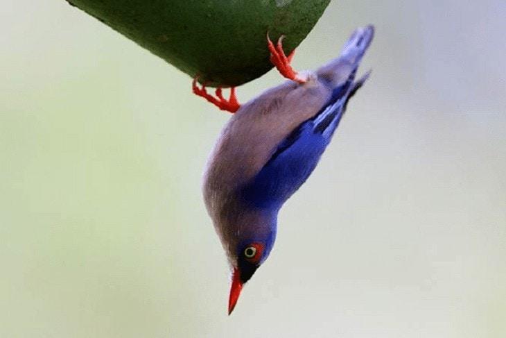 Keunikan Burung Rambatan