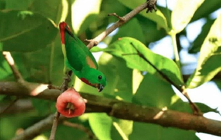 Makanan Tambahan Burung Serindit