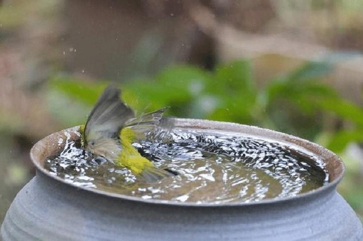 Manfaat Air Es Untuk Burung Pleci