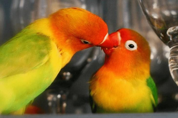 Masalah Lovebird Sulit Telur