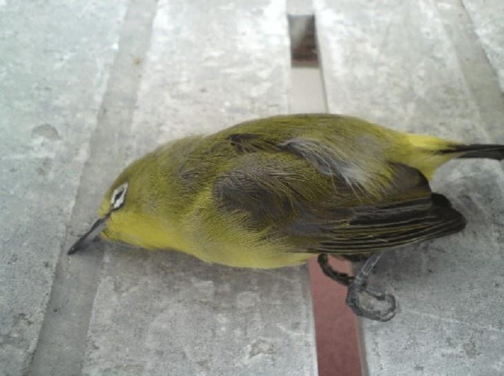 Penyakit Aratan Pada Burung Pleci