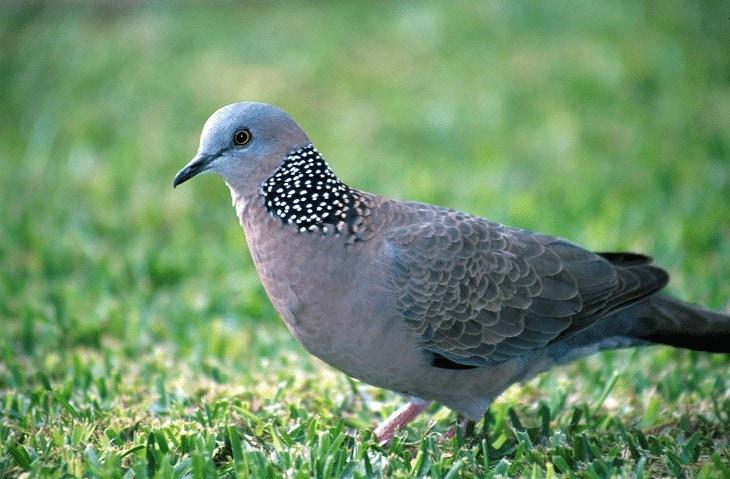 Penyakit Burung Perkutut