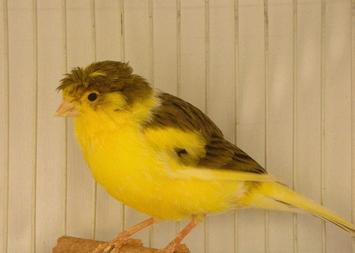 Penyebab Burung Kenari Kegemukan