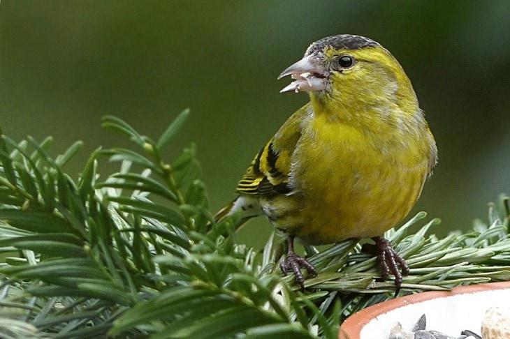 Penyebab Burung Kenari Sulit Bertelur