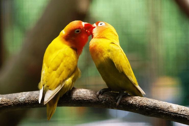 Penyebab Lovebird Ngleper