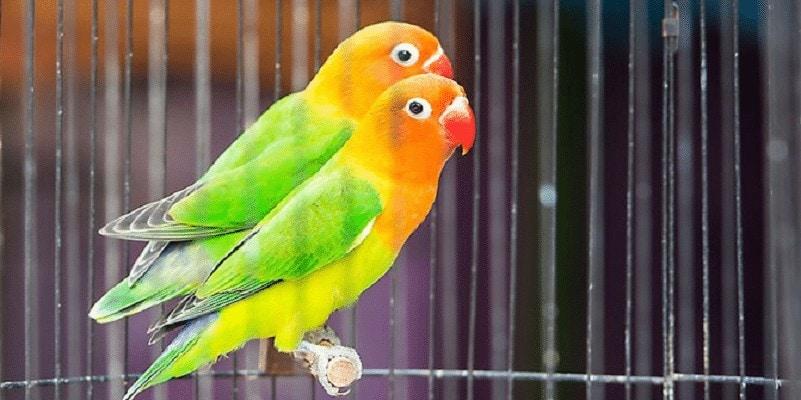 Penyebab Lovebird Sulit Bertelur