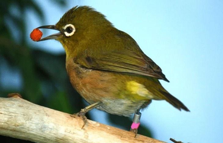 Penyebab Penyakit Aratan Pada Burung Pleci