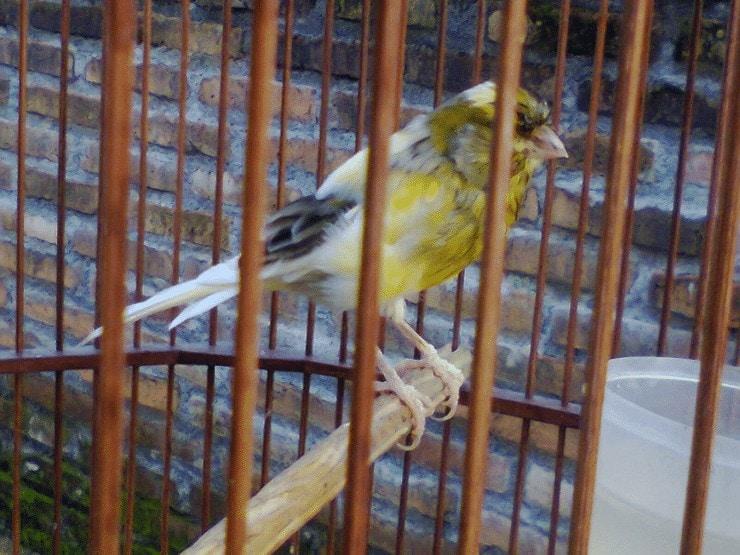 Perawatan Burung Kenari Dorong Ekor