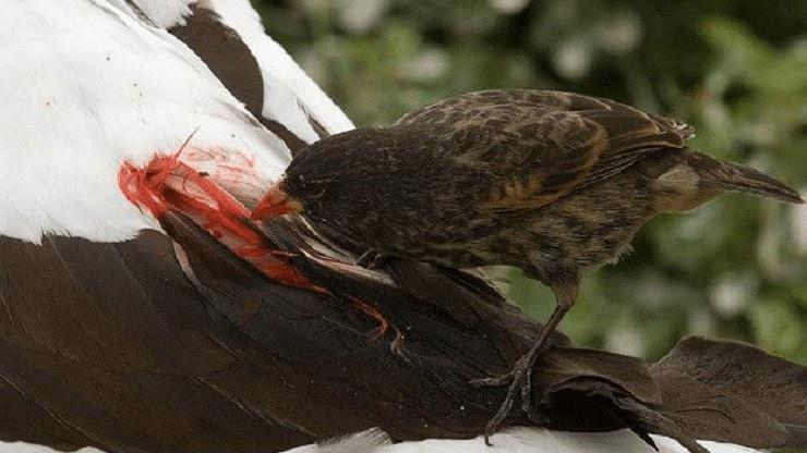 Perbedaan Burung Vampire Finch Jantan dan Betina