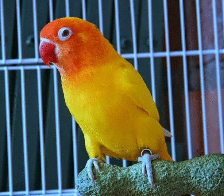 Perbedaan Fisik Lovebird Pastel Kuning dan Lutino
