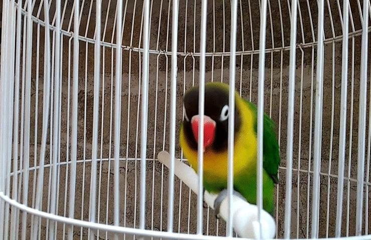 Tips Cara Mengatasi Lovebird Ngleper