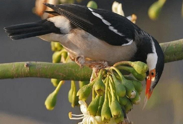 3 Jenis Burung Jalak Suren