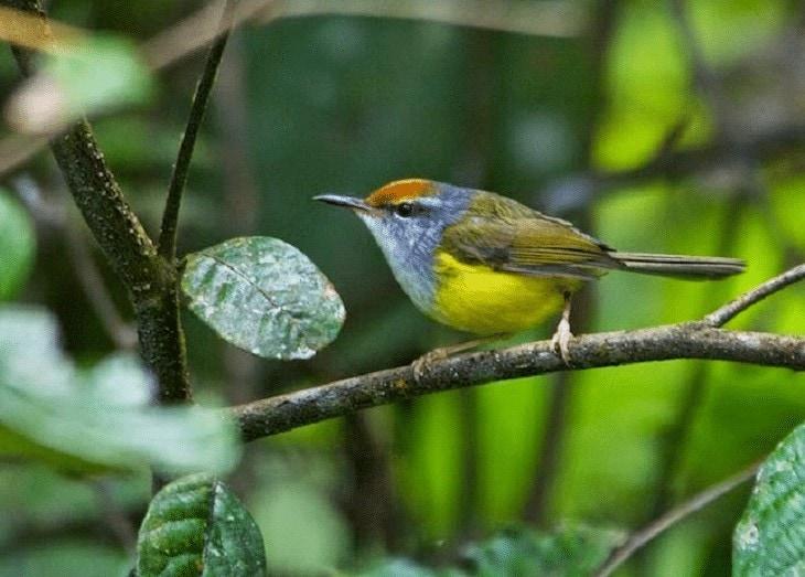 Burung Cinenen Gunung