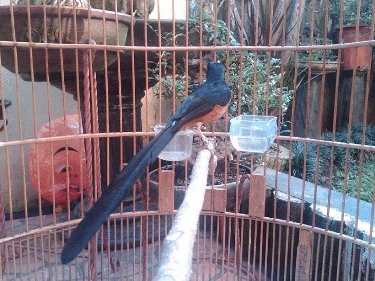 Burung Murai Batu Dorong Ekor