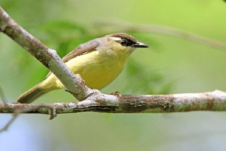 Burung Opior Jambul
