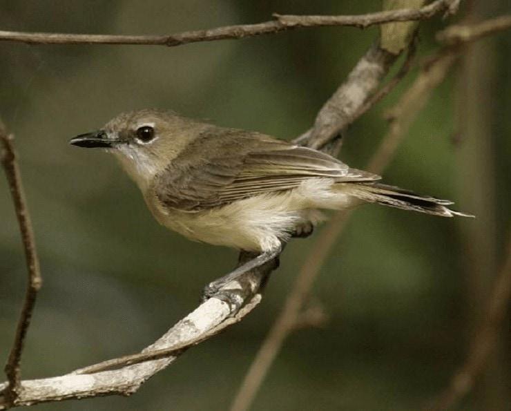 Burung Remetuk Rawa