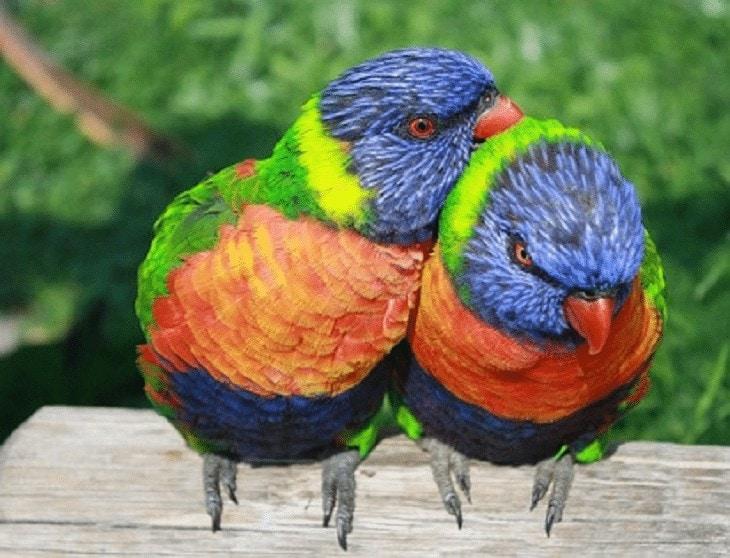 Cara Membedakan Jenis Kelamin Burung Perkici Pelangi
