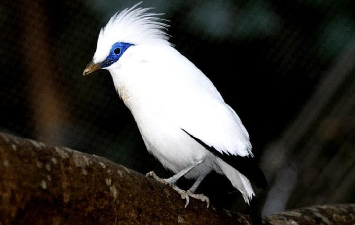 Cara Menangkarkan Burung Jalak Bali
