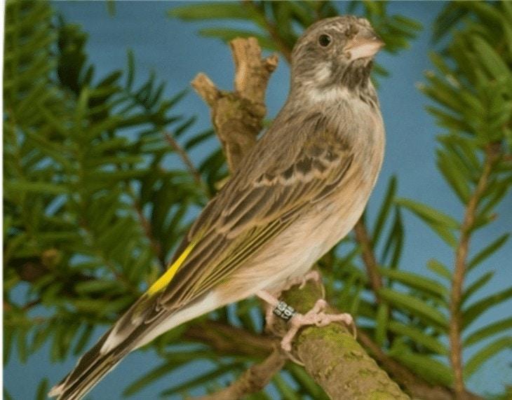 Cara Merawat Burung Blackthroat Bakalan