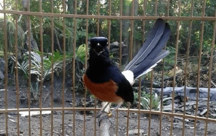 Cara Merawat Burung Murai Batu Borneo