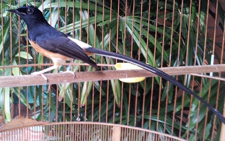 Cara Merawat Burung Murai Batu Medan Super