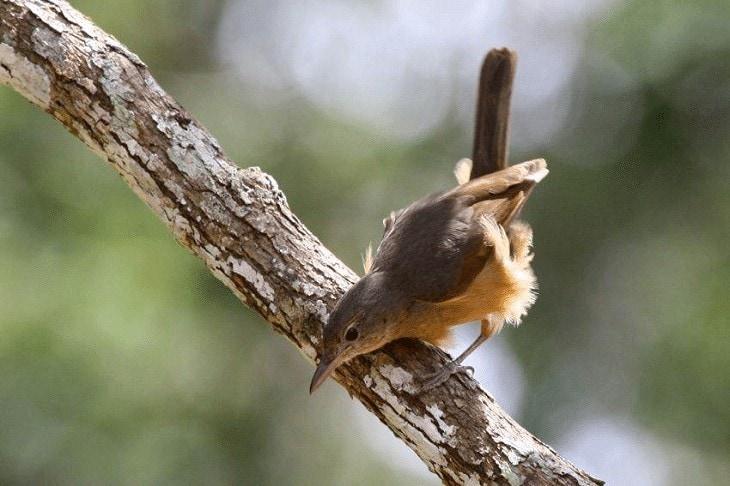 Ciri-Ciri Burung Anis Bentet Kecil