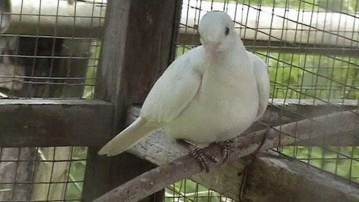 Ciri Ciri Burung Perkutut Putih Asli
